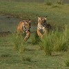 DSC_4508 Two Tiger Cubs on the Run 1200 web