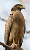 Asia. India. Crested Serpent Eagle (Spilornis cheela) at Bandhavgarh Tiger reserve.