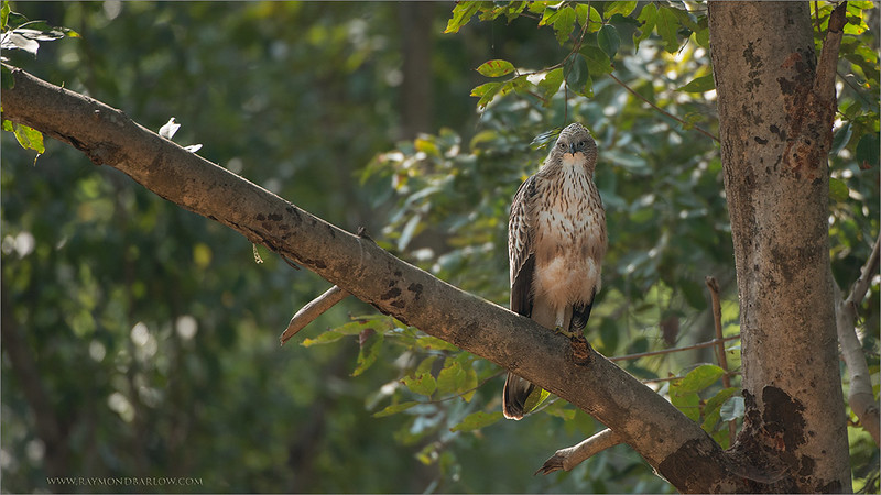 """In-between Tiger treks in India -<br /> <br /> We would stop for a few shots of many wonderful birds.  Kingfishers, shrikes, and this species, the Changeable Hawk Eagle.<br /> <br /> Great fun, beautiful bird!<br /> <br /> Changeable Hawk Eagle<br /> RJB India Tours<br />  <a href=""""http://www.raymondbarlow.com"""">http://www.raymondbarlow.com</a><br /> 1/500s f/4.0 at 400.0mm iso500"""
