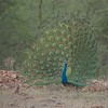 Peacock<br /> RJB India Tours<br /> <br /> www,raymondbarlow.com<br /> 1/250s f/4.0 at 300.0mm iso640