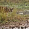 Spotted Deer - Tiger Prey in India Sending a Warning Call!<br /> Raymond's Wild Tiger Photography Tours