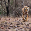 "Royal Bengal Tiger Hunting<br /> RJB India Photo Tours<br /> <br /> ray@raymondbarlow.com<br /> <br /> <a href=""http://raymondbarlowworkshops.blogspot.ca/2014/06/raymond-barlows-bengal-tiger-tour.html"">http://raymondbarlowworkshops.blogspot.ca/2014/06/raymond-barlows-bengal-tiger-tour.html</a><br /> 1/1600s f/4.0 at 400.0mm iso1600"