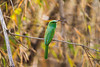 Asia. India. Green Bee-Eater (Merops beludschicus) perched in bamboo.