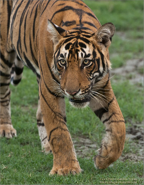 Royal Bengal Tiger <br /> Raymond's Wild Tiger Photography Tours<br /> <br /> ray@raymondbarlow.com<br /> Nikon D800 ,Nikkor 200-400mm f/4G ED-IF AF-S VR<br /> 1/400s f/6.3 at 400.0mm iso2500