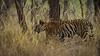 Asia. India. Bengal tiger (Pantera tigris tigris) enjoys the cool of a water hole<br />  at Bandhavgarh Tiger Reserve.