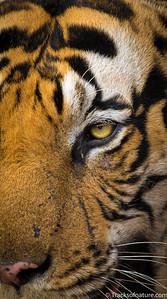 Tiger stare, Bhandavgarh National Park