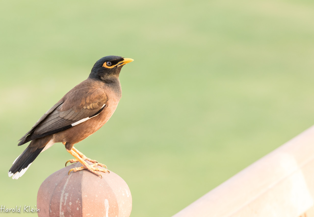 Myna Bird found all over India....at least where we traveled...