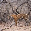 Royal Bengal Tiger marking territory.<br /> <br /> I am not much into watching animals pee, but this was fun to catch! Real nature, real wildlife in India!<br /> <br /> thanks for looking!<br /> <br /> ray@raymondbarlow.com<br /> Nikon D800 ,Nikkor 200-400mm f/4G ED-IF AF-S VR<br /> 1/1600s f/4.0 at 400.0mm iso1600