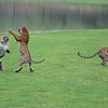 """The Tiger Sisters Dance<br /> (and the brother makes a run for it!)<br /> Raymond's India Photo Tours<br /> <br />  <a href=""""http://www.raymondbarlow.com"""">http://www.raymondbarlow.com</a><br /> ray@raymondbarlow.com<br /> Nikon D800 ,Nikkor 200-400mm f/4G ED-IF AF-S VR<br /> 1/2500s f/4.0 at 210.0mm iso5000"""