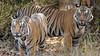 Asia. India. A pair of male Bengal tigers (Pantera tigris tigris) enjoy the cool of a water hole at Bandhavgarh Tiger Reserve.