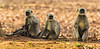 Asia. India. Grey langurs, or Hanuman langurs (Semnopithecus entellus) at Bandhavgarh Tiger Reserve