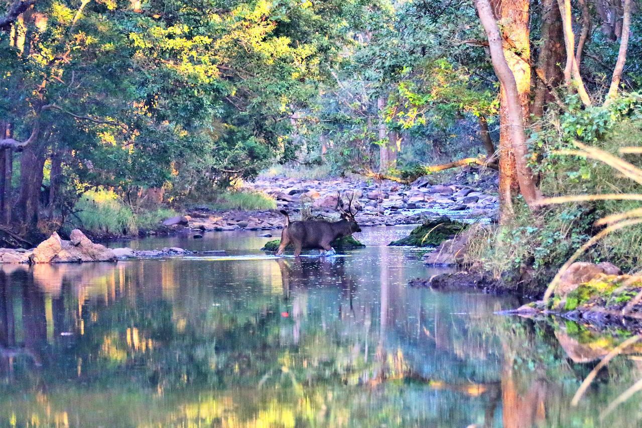 Sambar Deer Crossing River