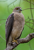 Asia. India. Shikra (Accipiter badius) at Kanha Tiger reserve.