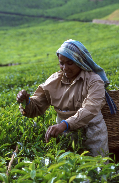 Picking tea, Munnar, India.