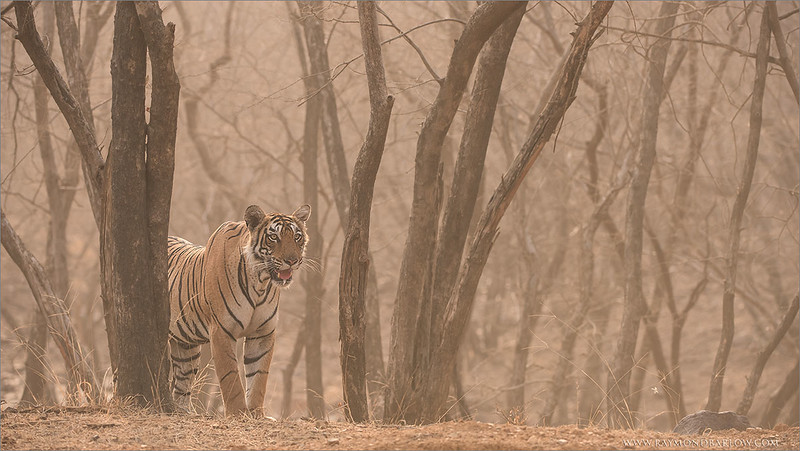 Tiger in India<br /> Raymond's Tiger Photography Tours in India<br /> <br /> I am back to my home in India!<br /> <br /> ray@raymondbarlow.com<br /> Nikon D810 ,Nikkor 200-400mm f/4G ED-IF AF-S VR<br /> 1/1000s f/6.3 at 350.0mm iso1000