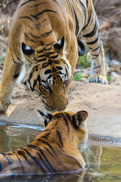 Asia. India. A pair of male Bengal tigers (Pantera tigris tigris) enjoy the cool of a water hole at Bandhavgarh Tiger Reserve.