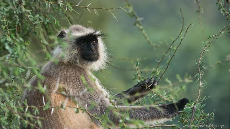 Langur Monkey at Ranthambore NP. India<br /> Raymond's India Photo Tours<br /> <br /> ray@raymondbarlow.com<br /> Nikon D800 ,Nikkor 200-400mm f/4G ED-IF AF-S VR<br /> 1/160s f/6.3 at 250.0mm iso400