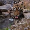 #tiger #india  <br /> Beautiful Male Royal Bengal Tiger<br /> <br /> We are set to go for June 9th, 2015, another 16 safaris at this most amazing location.  Thanks to everyone who has clicked, shared, and commented my recent images.. the last shot is now around 830,000 views!  Amazing!  Thanks so much!<br /> <br /> More new images soon, still editing from the last tour we finished a month ago.<br /> <br /> Save our natural world, so we can all live at peace, for many years to come.<br /> <br /> kind regards,<br /> <br /> Raymond