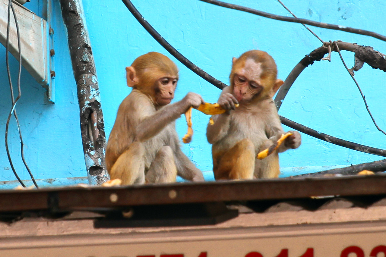 Delhi monkeys sharing lunch