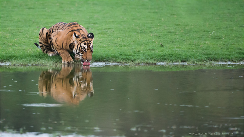 Tiger Female preparing for a Fight<br /> RJB India Photo Tours<br /> <br /> ray@raymondbarlow.com<br /> Nikon D800 ,Nikkor 200-400mm f/4G ED-IF AF-S VR<br /> 1/1250s f/4.0 at 400.0mm iso2500