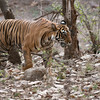 RJB_7484 Royal Bengal Tiger Noor T39 1200 web