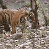 RJB_7484 Royal Bengal Tiger Noor T39 1200 web