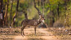 Asia. India. Chital, or spotted deer (Axis axis) at Bandhavgarh Tiger Reserve (NP).