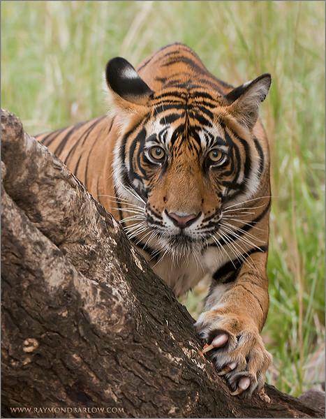 RJB_0907 Royal Bengal Tiger 700 x 900 1200 web