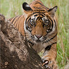 RJB_0907 Royal Bengal Tiger 700 x 900 1200 web