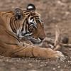 Royal Bengal Tiger Portrait<br /> Raymond's Wild Tiger Photography Tours<br /> <br /> ray@raymondbarlow.com<br /> Nikon D810 ,Nikkor 200-400mm f/4G ED-IF AF-S VR<br /> 1/400s f/5.6 at 400.0mm iso1600