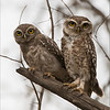 RJB_0562 Spotted Owls 700 x 900 1200 web