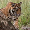 RJB_0911 Royal Bengal Tiger on a Tree 900 x 700 1200 web
