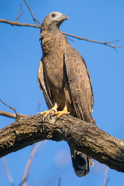 Oriental honey buzzard (Pernis ptilorhynchus) at Kanha NP, India.