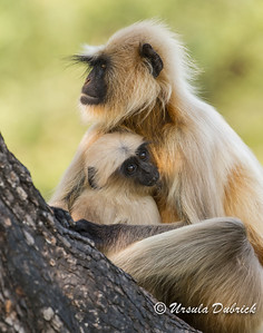 Langur monkey with baby