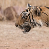 "The Intensity of the Tiger Hunt<br /> Raymond's Wild Tiger Photography Tours<br /> <br />  <a href=""http://www.raymondbarlow.com"">http://www.raymondbarlow.com</a><br /> Nikon D810 ,Nikkor 200-400mm f/4G ED-IF AF-S VR<br /> 1/800s f/6.3 at 400.0mm iso1000"