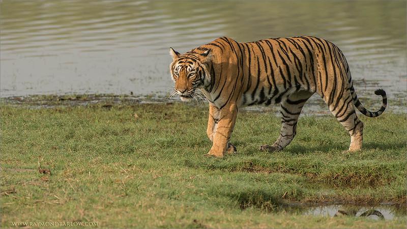 DSC_4562 Female Tiger on the Grass 1200 web