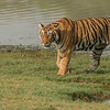 DSC_4562 Female Tiger on the Grass 1200 web