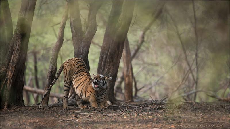RJB_4358 Royal Bengal Tiger 1200 web
