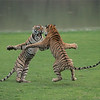"""Tiger Sisters in a Fight<br /> Raymond's India Photo Tours<br /> <br /> ray@raymondbarlow.com<br />  <a href=""""http://www.raymondbarlow.com"""">http://www.raymondbarlow.com</a><br /> Nikon D800 ,Nikkor 200-400mm f/4G ED-IF AF-S VR<br /> 1/2500s f/4.0 at 300.0mm iso5000"""