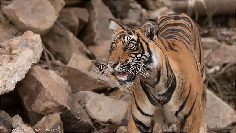 RJB_0878 Royal Bengal Tiger Looking Up 1200 web