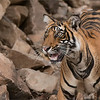 RJB_0878 Royal Bengal Tiger Looking Up 1200 web