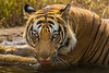 Asia. India. Male Bengal tiger (Pantera tigris tigris) enjoys the cool of a water hole at Bandhavgarh Tiger Reserve.