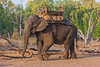Asia. India. Asian elephant (Elephas maximus) used in safari tourism at Bandhavgarh Tiger Reserve.