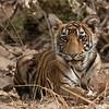 DSC_0217 Tiger Cub 1200 web