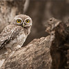 RJB_0664 Spotted Owl 1200 web