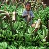Boy and bananas, Mysore, India.