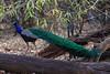 Asia. India. Peacock (Pavo cristatus) on display at Bandahavgarh Tiger Reserve.