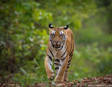 Tiger, Bhandavgarh National Park