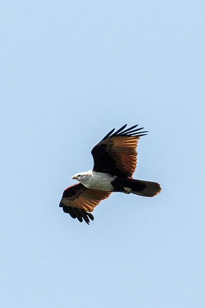 Brahminy kite