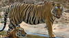 Asia. India. A pair of Bengal tigers (Pantera tigris tigris) enjoy the cool of a water hole at Bandhavgarh Tiger Reserve.